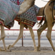 Camels running at Camel Racetrack — Stock Photo #33884379