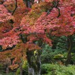 Maple trees — Stock Photo