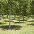 Stock Photo: Grove with trees