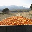 Stock Photo: Trailer with oranges