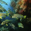 School of oriental sweetlips — Stock Photo