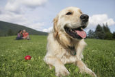 Golden retriever reclining in meadow — Stok fotoğraf