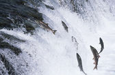 Salmon jumping upstream in river — Stock Photo