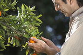 Farmer looking at oranges on tree — Stock Photo