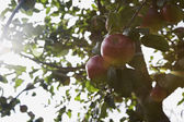 Apples on tree — Stock Photo