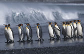 King Penguins marching on beach — Stock Photo