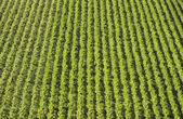 Aerial view, rows of grape vines, vineyard — Stock Photo