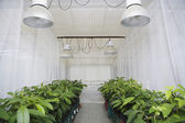 Rows of plants in greenhouse — Stock Photo