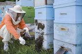 Beekeeper Tending Beehives — Stock Photo