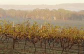 Vineyard in rural landscape — Foto de Stock