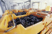 Wine grapes ready for crushing — Stock Photo