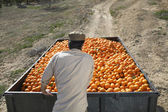 Farmer with oranges — Stock Photo