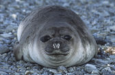 Weddell Seal on pebble beach — Stock Photo