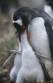 Gentoo Penguin feeding chicks — Stock Photo