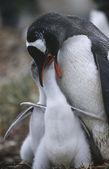 Gentoo Penguin feeding chicks — Stock Photo
