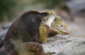 Land Iguana resting on rock — Stock Photo