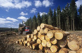 Trees harvested for woodchipping — Foto Stock