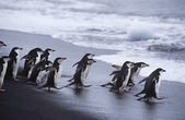 Chinstrap Penguins colony walking into sea — Stock Photo