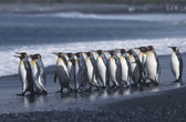 Colony of King Penguins on beach — Stock Photo