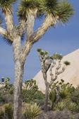 Joshua trees in desert — Stock Photo