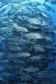 Large school of bigeyed trevally fish — Stock Photo