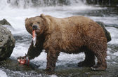Brown Bears eating Salmon river — Stock Photo