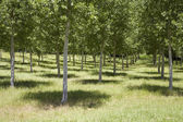 Grove with trees — Stock Photo