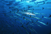 Large school of Barracuda fish — Stock Photo