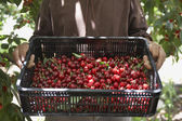 Man Holding Tray of Cherries — Stock Photo