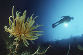 Reef wall with silhouette of diver — Stock Photo