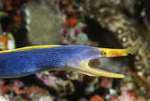 Female Ribbon Eel with mouth open — Stock Photo