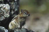 Chipmunk on rock — Stock Photo