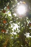Sunlight breaking through orange tree — Stock Photo