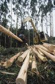 Plantation Eucalyptus trees — Stock Photo
