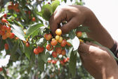 Man Picking Cherries — Stock Photo