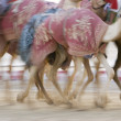 Stock Photo: Camels running at Camel Racetrack