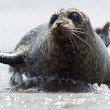 Seal lying in shallow water — Stock Photo #33892519