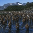 Colony of juvenile King Penguins — Stock Photo #33894559
