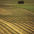 Stock Photo: Rows of vines at vineyard