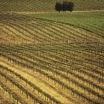 Rows of vines at vineyard — Stock Photo #33895095