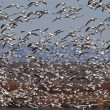 Flock of Snow Geese — Stock Photo