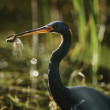 Tricolored Heron with dragonfly in beak — Stock Photo