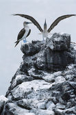 Blue-footed Boobys on top of rock — Stock Photo