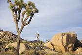 Joshua trees and rocks in desert — Stock Photo