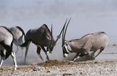 Gemsbok fighting — 图库照片