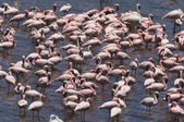 Flock of Flamingo — Stock Photo