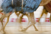 Camels running at Camel Racetrack — Stock Photo