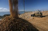 Eucalyptus trees  for export — Foto de Stock