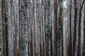 Eucalypt Mountain Ash trees — Stock Photo