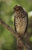 Merlin perching on branch — Stock Photo